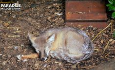 Here is sleepy Khan who is our Corsac Fox #Fabzoolus