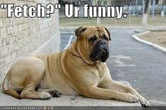 mastiff funny pics - Google Search