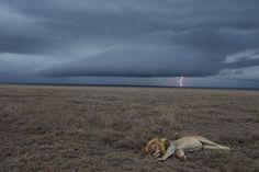 Nós gostamos <3 do incrível portfolio de Michael Nichols retratando Leões. Um trabalho incrível!  http://www.anastasia-photo.com/artist.php