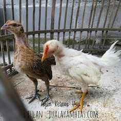 Ayam Ketawa Usia 1 Bulan jualayamhias.com pesanan Ibu Sudartik di Jombang Jawa Timur  .  .  .  .  .  Silahkan.. pesan sekarang kami bisa mengirimkan ke seluruh Indonesia via Kargo hewan terpercaya. jualayamhias.com Kantor: Donoharjo Ngaglik Sleman Yogyakarta Kandang utama: Muntilan Magelang  TELKOMSEL : 0812 2028 8686 IM3 : 08564-772-3888 (Whatsapp) AXIS : 0838-6918-5523 LINE : 08564-772-3888 LINE ID : jualayamhias.com   #ayamhias #ternakunggas #ternakayam #ternakayamhias #ayam…