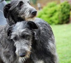 The Deerhound, a Scottish Hound, is a traditional dog belonging to the Scottish Highlands, It also appears in the old portraits, sleeping at the foot of great lords.   This race was on the verge of extinction, but the enthusiasm of their breeders has allowed this canine aristocrat to survive to the present day.