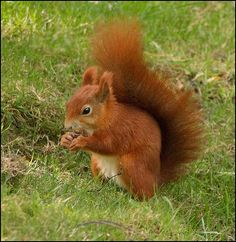 these i would not mind at all, especially as they are being outcompeted by the big gray variety. Red Squirrel