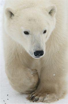 Polar bear migration in Churchill
