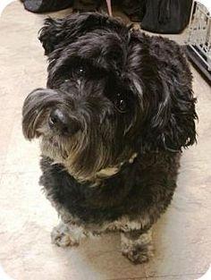 Chicago, IL - Miniature Schnauzer/Miniature Poodle Mix. Meet Buttons, a dog for adoption. http://www.adoptapet.com/pet/14690366-chicago-illinois-miniature-schnauzer-mix