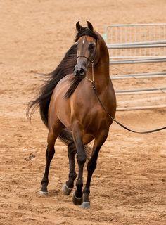 Spitfyre VF :: Argent Farms LLC :: Distinctive Arabian Horses