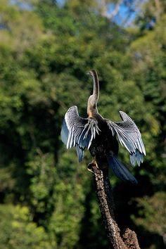 Snake_Bird in Thekkedy | Flickr - Photo Sharing!