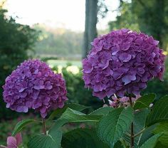 Let's Dance® Rave is part of a reblooming series of low, tight-growing Hydrangeas that showcase vibrant blossoms on both old and new wood, assuring a long season of bloom for even Zone 5 gardeners. The lush flower heads—dark purple or blue on acid soils, deep pink on alkaline—are held upright on strong stems all summer long. A Proven Winners® variety. 'SMNHNSIGMA' PPAF  hight 2-3', blooms June-Aug