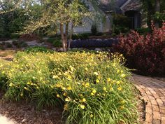 Daylilies are the perfect perennial. When planted in mass, they provide all-season color in your landscape. Here's 'Bitsy', a variety that features bunches of small yellow blooms, shown neighboring weigelas, groundcover roses, and other perennials used alongside a brick path.
