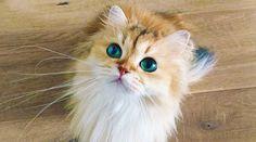 """ペットユーザーがSNSに投稿する愛犬・猫写真は、日本のみならず世界でも超がつく大人気ぶり。とくに2016年は""""愛猫アカウント元年""""と呼べるほどに、ご自慢の猫ちゃんで埋め尽くされたFacebookやInstagramが、それこそ星の数ほど海外で誕生した。もしかしたら、今その頂点に君臨しているのはこの猫かも。メスのブリティッシュ・ロングヘアー。名前は「スムージー」。「Facebookに写真を投稿..."""