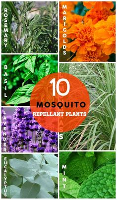10 Natural Mosquito Repellant Plants - Click for Tips