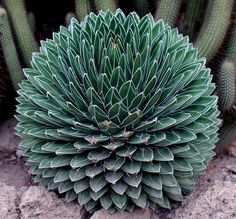 Spherical Agave.  Agave Victoria Regina.They are used in pots and in the ground in southern rock, talus. We must plant agave in a non-passenger place because of the quills. Flowering occurs after fifteen years, it is a great scape up to 10 meters high.The flowers are white.
