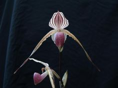 Paph Lady Isabel