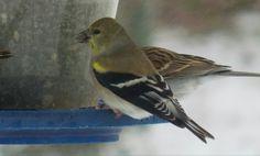 American Goldfinch - Photo by Alan Wiltsie