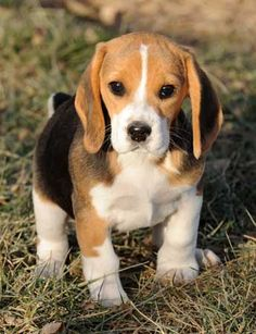 Patches the Mini Beagle who barks at falling leaves and other little things!!!