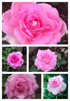 One my favorite rose additions for 2013 is the Beverly Hybrid Tea from the Certified Roses Simply Brilliant Collection. Check out this beautiful collection here. From the beginning bud stage to ful…