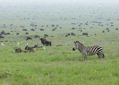 Serengeti-Wanderung wird erstmals live im Internet übertragen