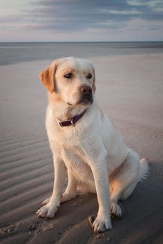 Mind Blowing Facts About Labrador Retrievers And Ideas. Amazing Facts About Labrador Retrievers And Ideas. Perro Labrador Retriever, Golden Retriever, Retriever Puppy, Sweet Dogs, Cute Dogs, Husky Corgi, Golden Labrador, White Labrador Puppy, Labrador Dogs