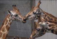 nieuwe giraffen dierenpark amersfoort