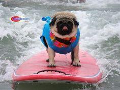 ~surfing pug~