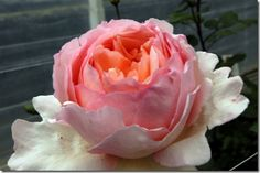 Blog of Mayesh Wholesale Florist - New 2013 Garden Rose Varieties