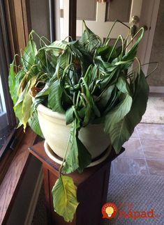 Túto rastlinu by vraj mala mať v dome každá žena: Nerobte túto častú chybu a vydrží vám krásna celé roky! Spinach, Herbs, Vegetables, Plants, Gardening, Gardens, Garden Deco, Flowers, Vegetable Recipes