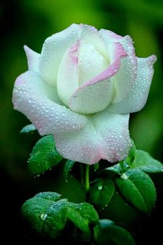 Beautiful Rose Flowers, Flowers Nature, Exotic Flowers, Amazing Flowers, Special Flowers, Beautiful Gardens, White Flowers, Beautiful Flowers, Rose Images