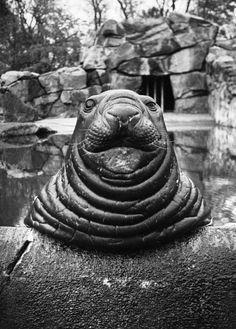 Friedrich Seidenstücker. See-Elefant, Roland, 1933