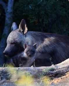 Brown hyaena with pup