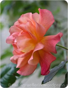 Aus meinem Garten: Juni – Im Namen der Rose