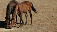 Wild horses: Why brumbies will be culled in Queensland - BBC News