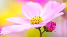 kosmeya pink flower wallpaper download high definition