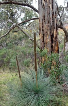 Anna Scott : June Black Boys near Melrose, South Australia Australian Houses, Australian Garden Design, Australian Native Garden, Amazing Photos, Cool Photos, Beautiful Pictures, Terra Australis, Native Gardens, Native Australians
