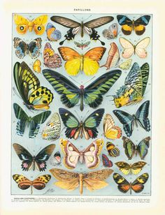 Butterfly Papillons Chart Illustration Poster In - This Vintage Butterfly Scientific Illustration Is Stunning Vintage French Butterflies Engraving Original Papillons Antique Plate Color Print Dictionary Page Lepidoptera Old Illustration Lovel Art And Illustration, Illustration Papillon, Butterfly Illustration, Portrait Illustration, Watercolor Illustration, Butterfly Wall Art, Vintage Butterfly, Diy Butterfly, Butterfly Images