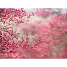 1024x768 Spring in pink desktop PC and Mac wallpaper ❤ liked on Polyvore featuring backgrounds, pictures, flowers, photos and pink