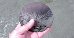 """You certainly learn something new every day… Sand dollars are amazing creatures that are indeed alive, despite the fact they seemlike they don't breathe or move. Courtesy of YouTube channel """"Sea Something,"""" you're about to learn that sand dollars are leaving, breathing creatures,plus the fascinatingdifference between a live and a dead sand dollar. You're probably... View Article"""