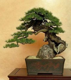 If you're in making your very first bonsai, try boxwood. With this quick introduction, you ought to be in a position to choose a tree that fulfills your wishes, either an indoor Bonsai or an outdoor. Bonsai tree plants can… Continue Reading → Flowering Bonsai Tree, Bonsai Plants, Bonsai Garden, Succulents Garden, Air Plants, Cactus Plants, Indoor Trees, Indoor Bonsai, Ikebana