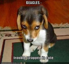 Beagles: trouble wrapped in cute. That's a fact! #beagle - I'm trying not to pin EVERY beagle pic but they are just too adorable! So cute