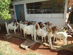 Iapar faz entrega de 30 cabras em Pato Branco