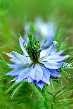 Blue Nigella - **Love in a mist