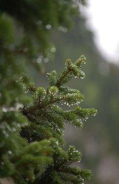 18 Ideas For Pine Tree Art Forests Evergreen Tree Wallpaper Iphone, Nature Wallpaper, Trendy Wallpaper, Tree Photography, Winter Photography, Pine Tree Art, No Rain, Christmas Tree Farm, Evergreen Trees