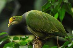 Ptilinopus aurantiifrons - Cerca con Google