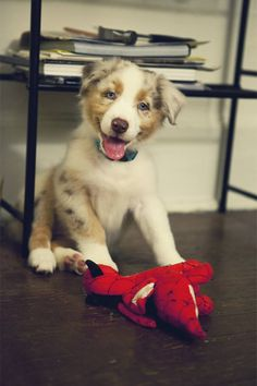 Australian Shepherd puppy smile! #australianshepherd #aussie #australianshepherdpuppu