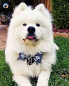 Samoyed Dogs Puppies Faces. Cute Samoyed Puppy.  #samoyedlife #samoyedlover #samoyeddog #samoyedpuppies #samoyedsmile Cute Puppies, Dogs And Puppies, Samoyed Dogs, Dog Facts, Puppy Face, Adorable Animals, Doggies, Husky, Funny Pictures