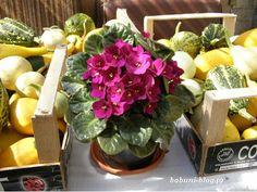 """Babcia radzi coś...: Naturalne dokarmianie roślin Zardzewiałe gwoździe dla fiołka afrykańskiego (fotka). Do doniczki, w której rośnie sobie fiołek afrykański (sępolia fiołkowa) warto wetknąć kilka zardzewiałych gwoździ. Dzięki takiej """"wkładce"""" roślina będzie kwitła dłużej i obficie a kwiaty będą ładniejsze."""