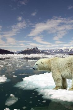 Polar bear swims     miles in nine days in search of food and     JunkScience com