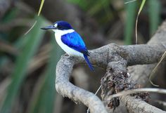 kakadu, azure kingfisher