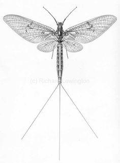 Ephemeroptera Hemimetabolous OCN: Mayflies