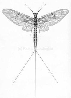 1000 images about ephemeroptera on pinterest mayfly insects and wings. Black Bedroom Furniture Sets. Home Design Ideas