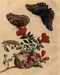 Maria Sibylla Merian, Plate 9 from 'Metamorphosis Insectorum Surinamensium' (1705) (courtesy Universitätsbibliothek Johann Christian Senckenberg, Frankfurt)