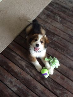 Moses 8 wks old. Great Bernese! (Great Pyrenees and Bernese Mountain dog mix)